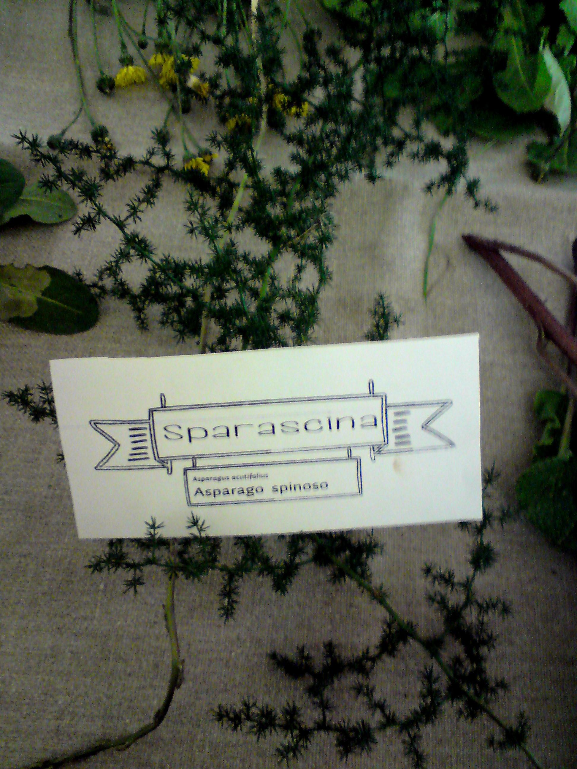 Asparagus Acutifolia, known in English as Wild Asparagus. Edible shoots
